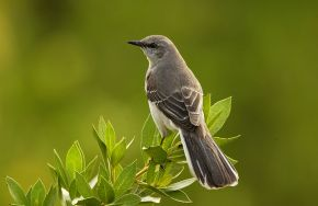 The Mockingbird's Psalm